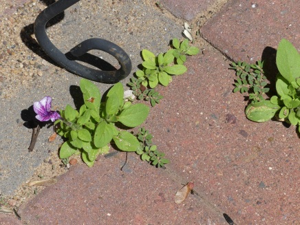 Growing in the brick pavers.
